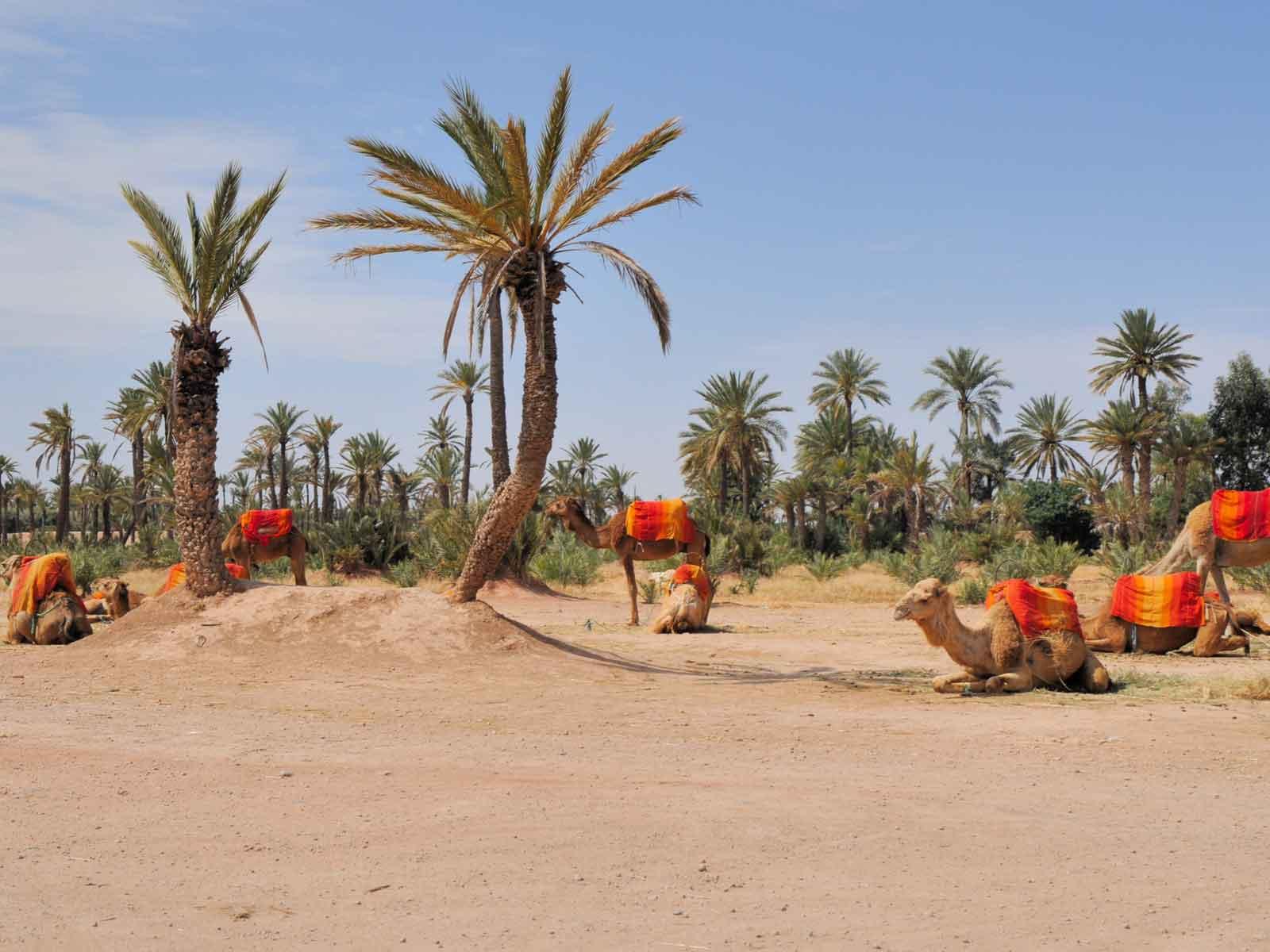 Excursion day trip Marrakech to palmerai camel treks