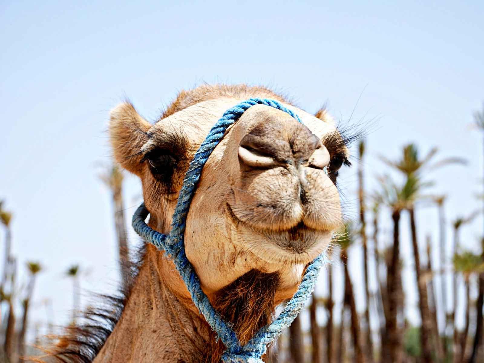 Marrakech day tour camel treks