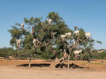 Day tour to Essaouira with goats climbing Argan trees